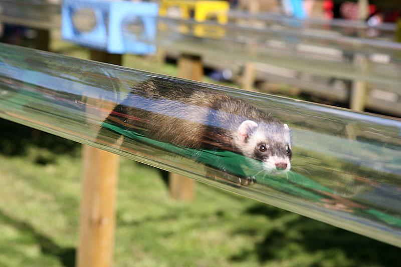 Ferret-racing
