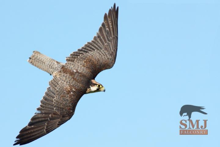 smj- falconry 5