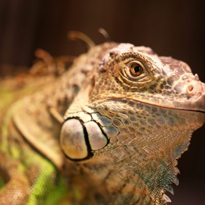 Iguana at Cannon Hall Farm