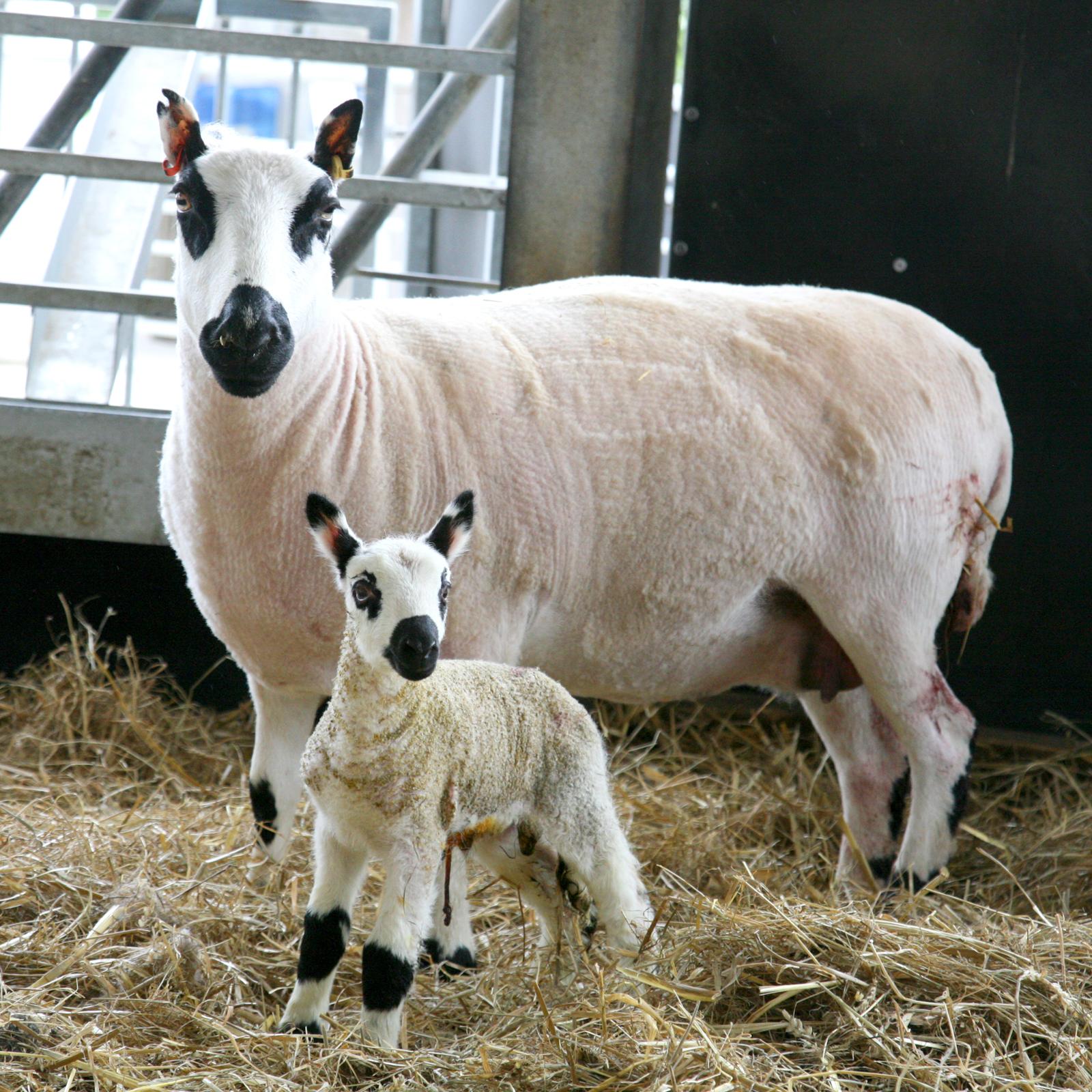 Kerry Hill Lamb