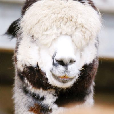 Zander the Alpaca