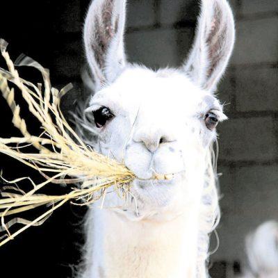 Victor the Llama