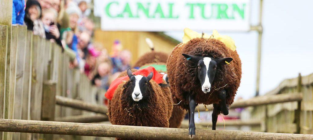Sheep racing at Cannon Hall Farm