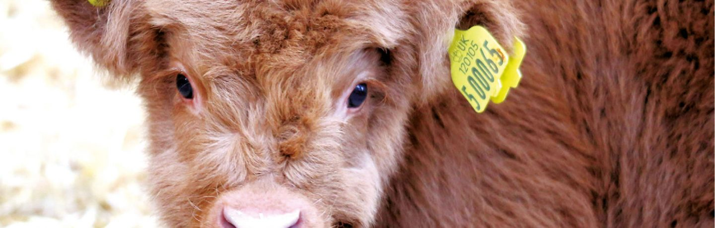 Ted the Highland Cow