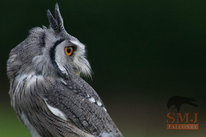 white-faced-scops-owl-smj-falconry