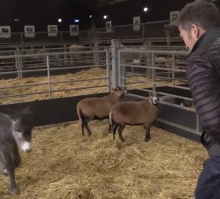 The Yorkshire Vet vs The Pigs