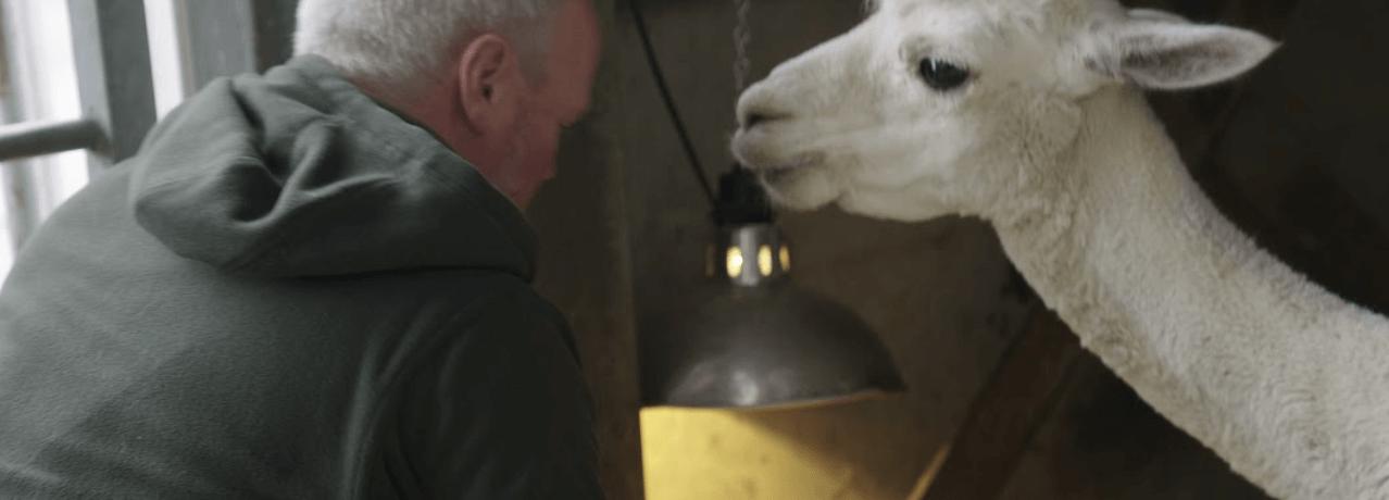 Farmer Robert Nicholson pictured with a white alpaca